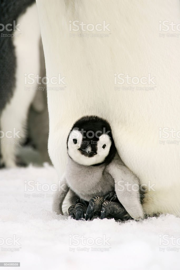 Emperor Penguin Chick on Feet stock photo