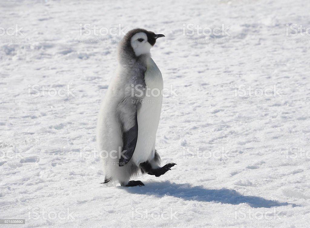 Emperor Penguin chick walking stock photo
