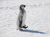 Emperor Penguin chick walking