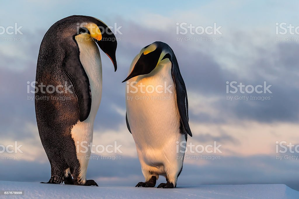 Emperor penguin curiously looking at his friend's belly stock photo