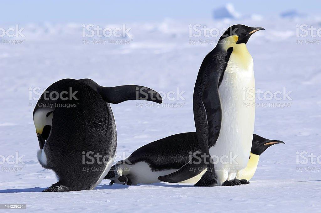 ウミウシペンギングループ ロイヤリティフリーストックフォト