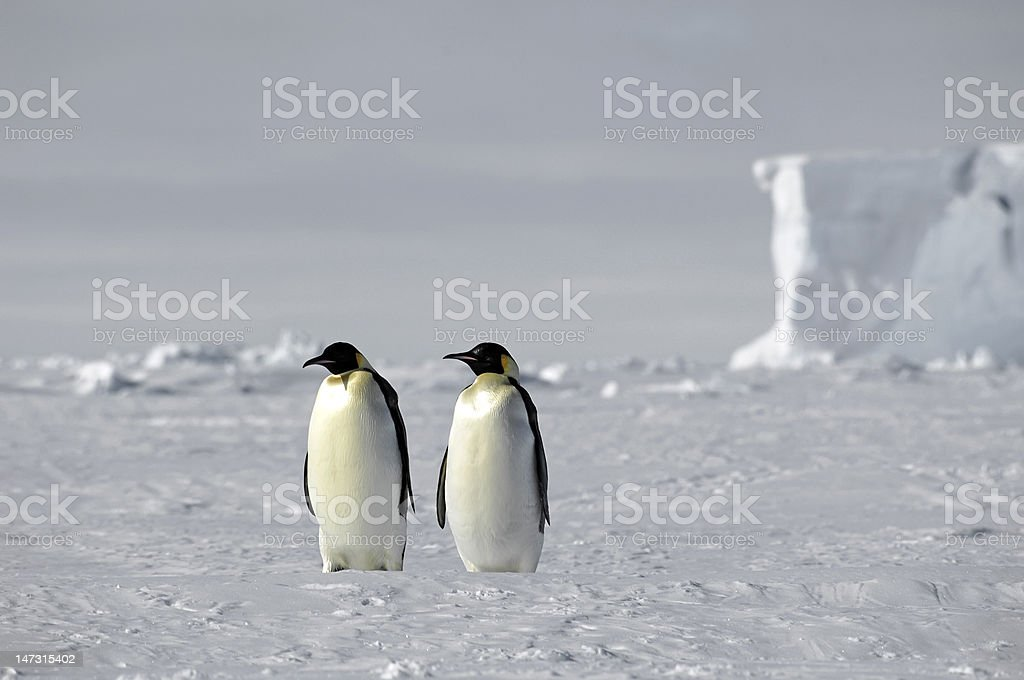ウミウシペンギンペア ロイヤリティフリーストックフォト