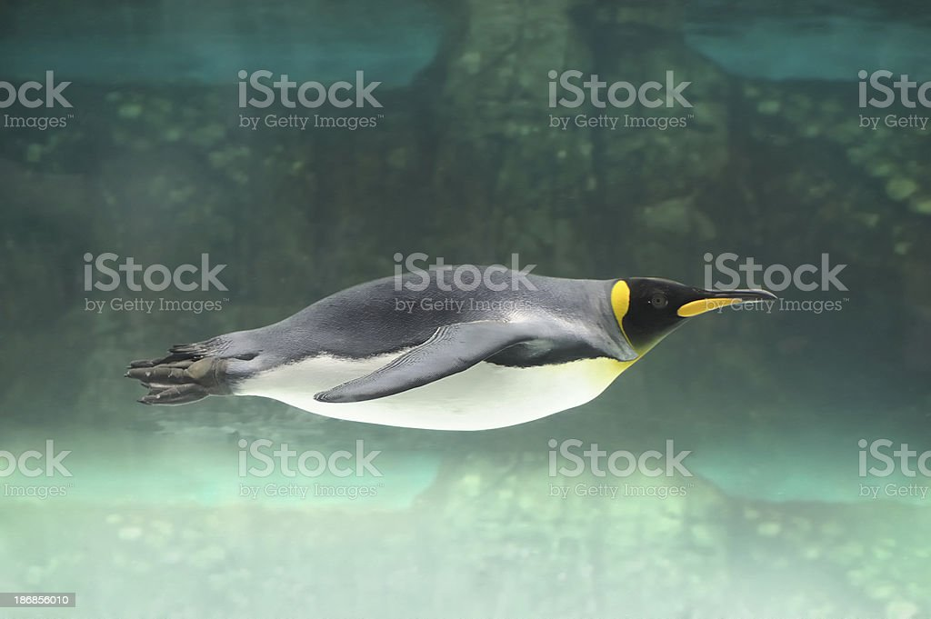 Emperor Penguin Swimming royalty-free stock photo
