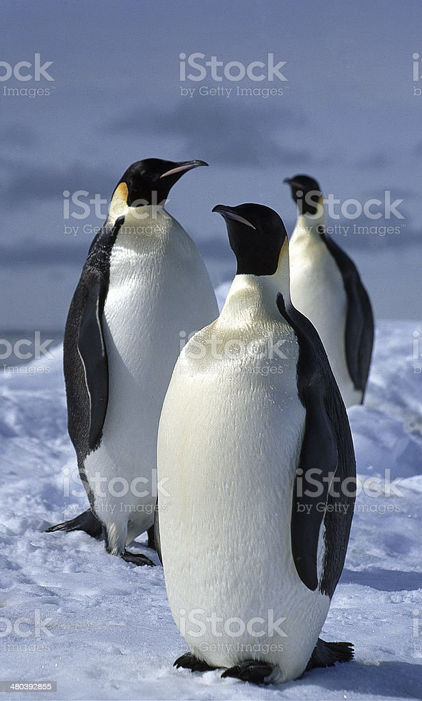 Emperor Penguins 1 stock photo