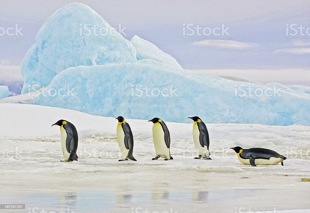 Emperor Penguins and Blue Iceberg stock photo
