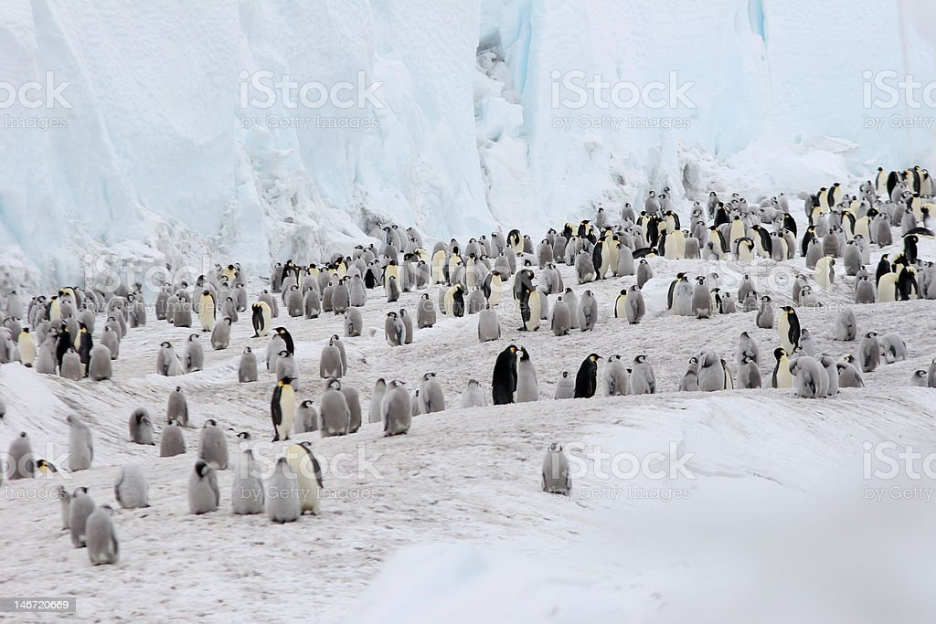 Emperor Penguins On Ice stock photo