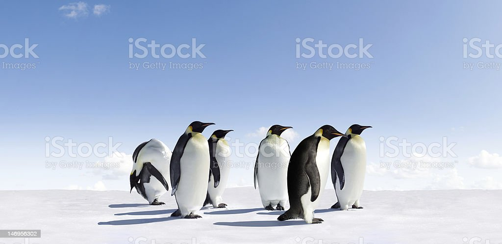 Emperor Penguins royalty-free stock photo