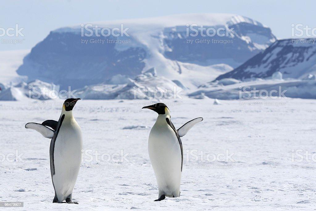 Emperor penguins (Aptenodytes forsteri) royalty-free stock photo