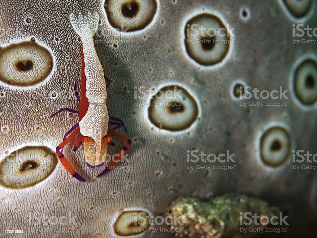 Emperor Shrimp on Sea Cucumber, Imperator-Partnergarnele auf Seewalze (Periclimenes imperator) stock photo