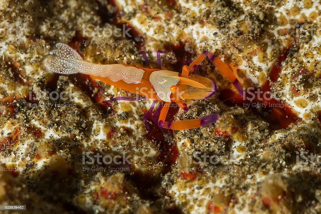 Emperor Shrimp on Sea Cucumber stock photo
