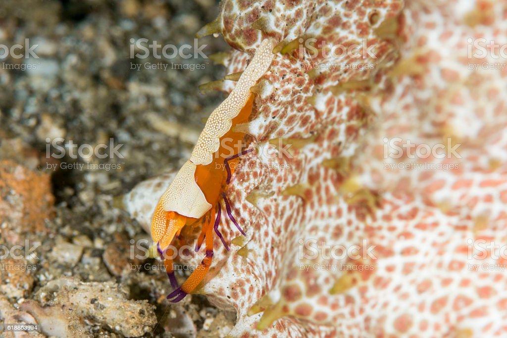 Emperor shrimp - periclemenes imperator stock photo