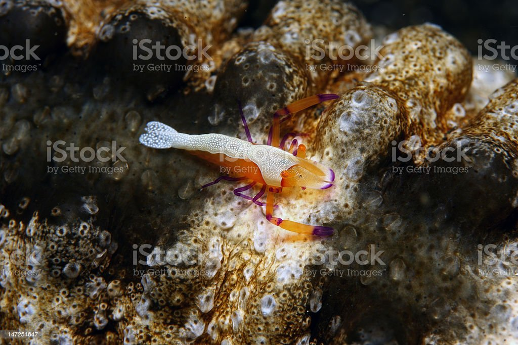 Emperor shrimp stock photo