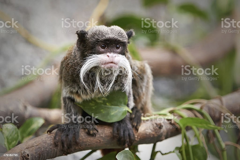Emperor Tamarin (Saguinus imperator) stock photo
