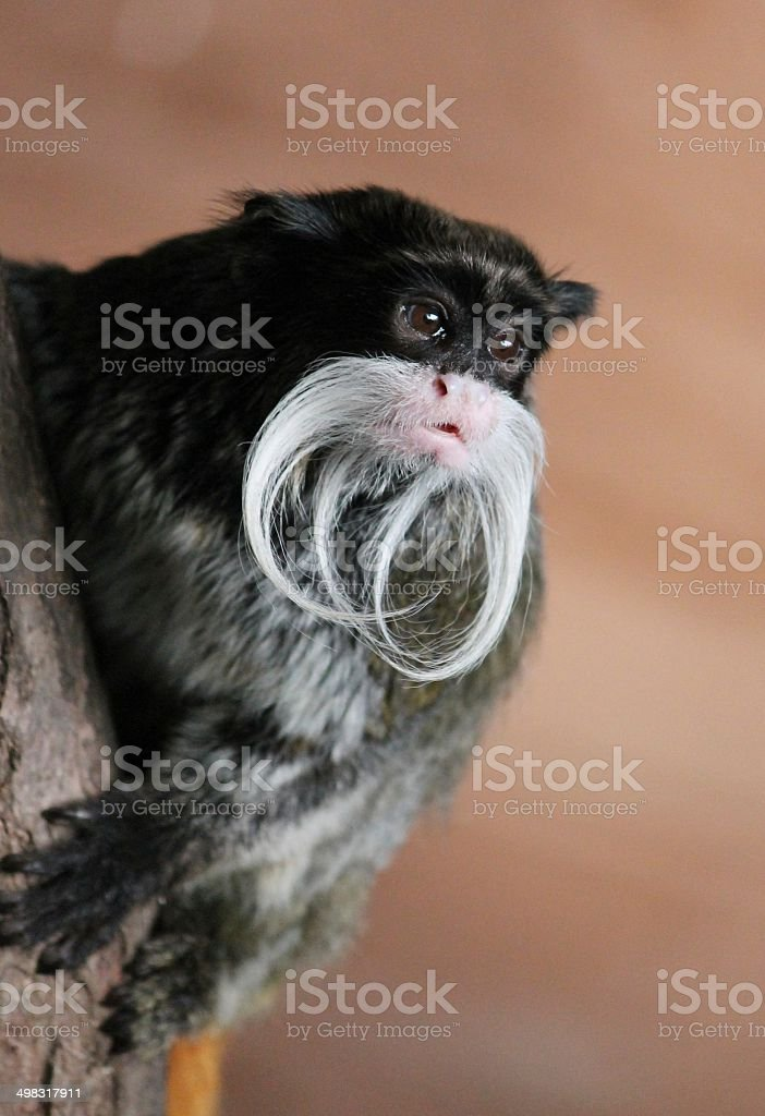 emperor tamarin stock photo