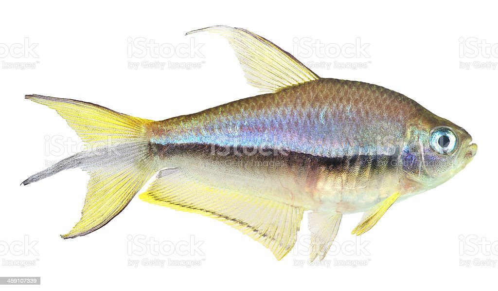 Emperor Tetra Fish stock photo