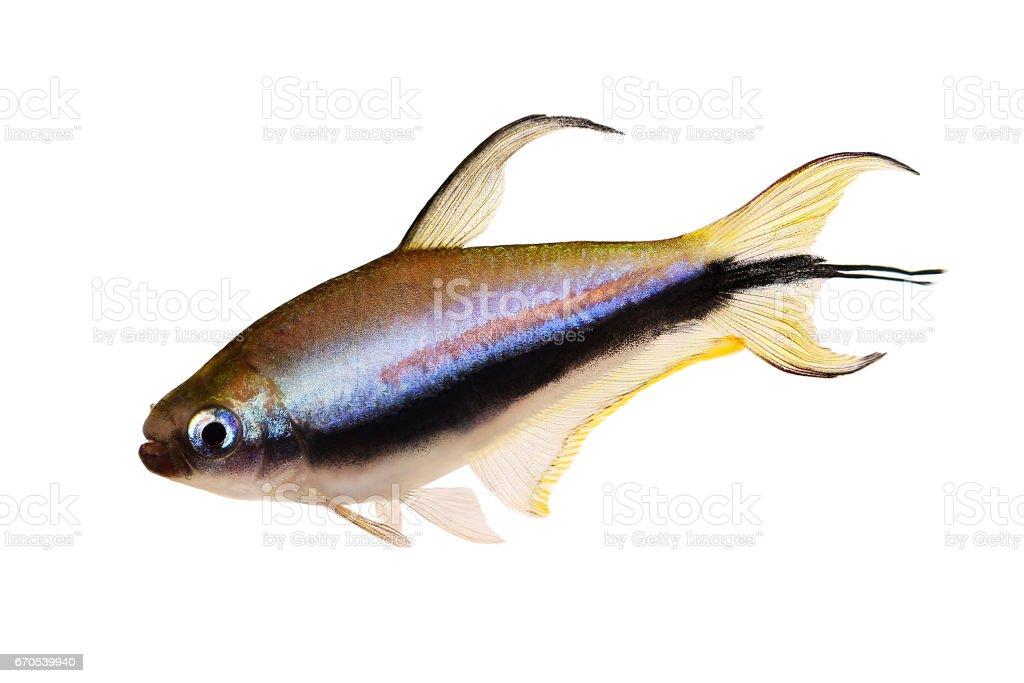 Emperor tetra Nematobrycon palmeri aquarium fish stock photo