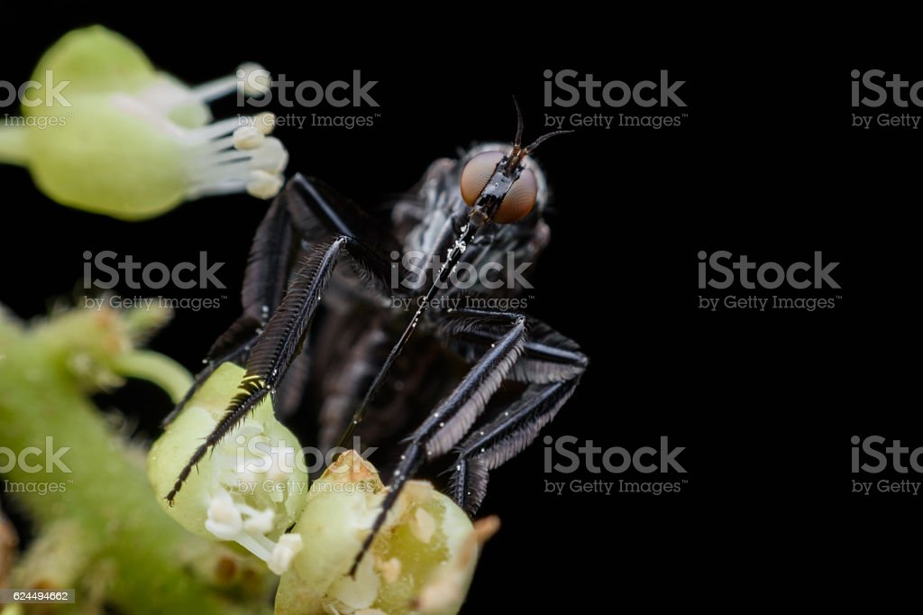 Empididae collecting honeydew from flower stock photo