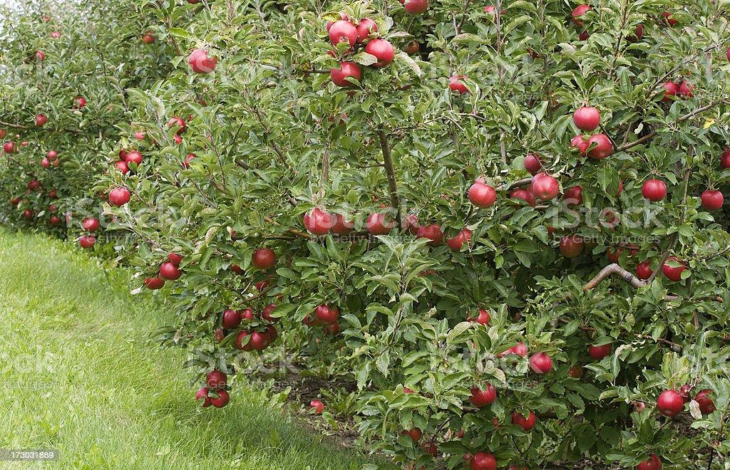 Empire Apple orchard stock photo