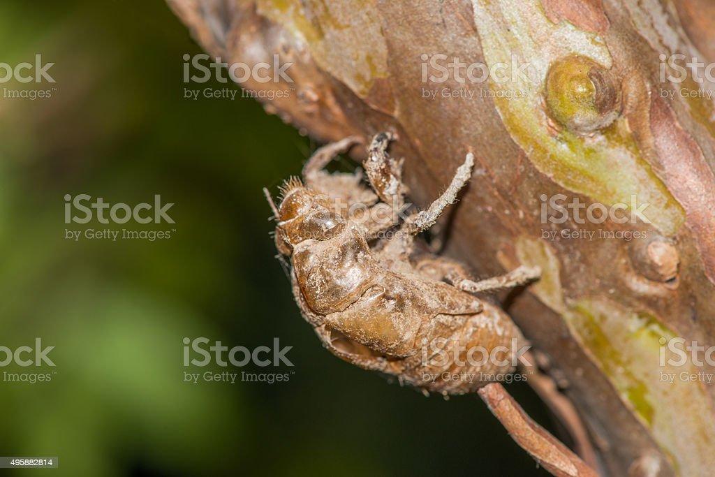 Empty chrysalis cicada stock photo