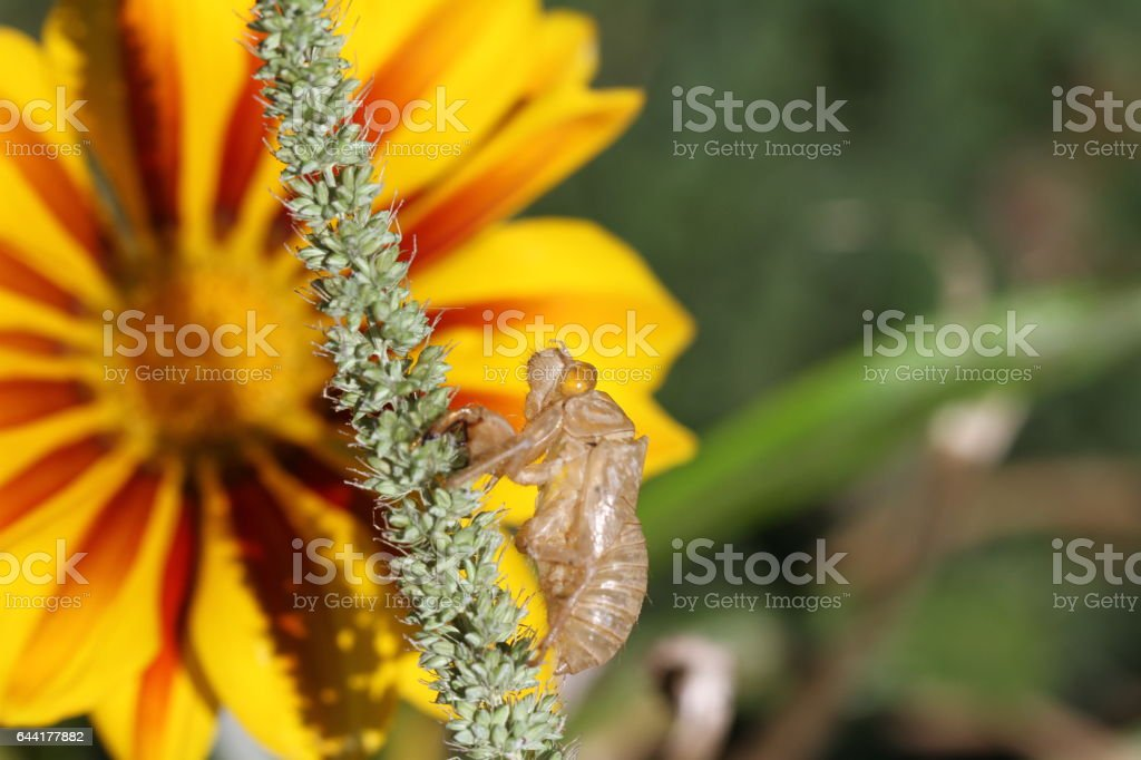 empty cicada orni shell or exoskeleton casing closeup from moulted or metamorphosis cicada insect on gazania or treasure flower gerbera in Italy hemiptera cicadidae with a yellow eye suboarder Auchenorrhyncha stock photo