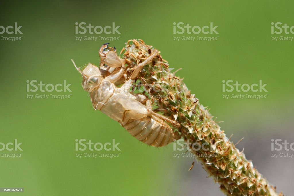 Empty cicada shell or casing close up Latin name hemiptera cicadidae cicadoidea family exoskeleton having undergone metamorphosis gripping onto a grassy weed in summer in Italy stock photo