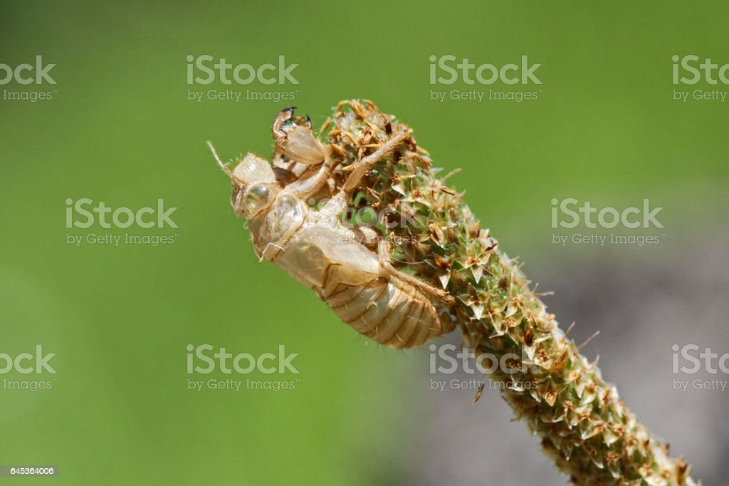 Empty cicada shell or casing close up Latin name hemiptera cicadidae exoskeleton having undergone metamorphosis gripping onto a grassy weed in summer in Italy stock photo