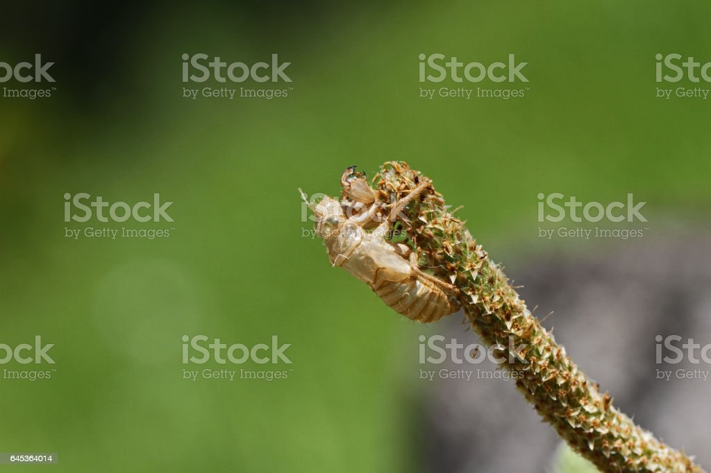 Empty cicada shell or casing Latin name hemiptera cicadidae exoskeleton having undergone metamorphosis gripping onto a grassy weed in summer in Italy stock photo