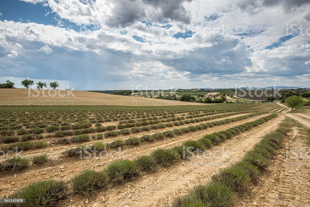 Empty lavender fields of Provence after harvesting stock photo
