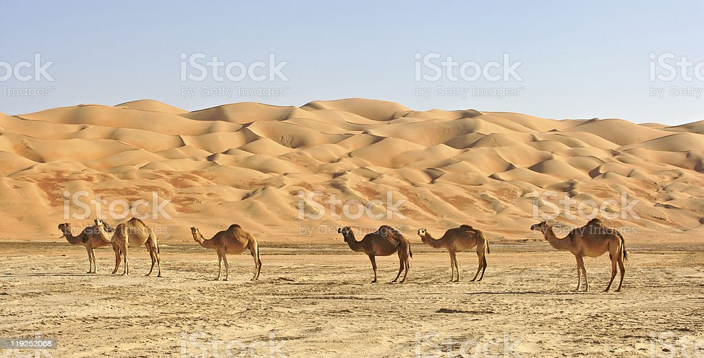 Empty Quarter Camels stock photo