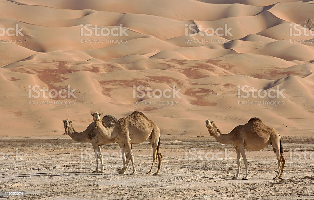 Empty Quarter Camels royalty-free stock photo