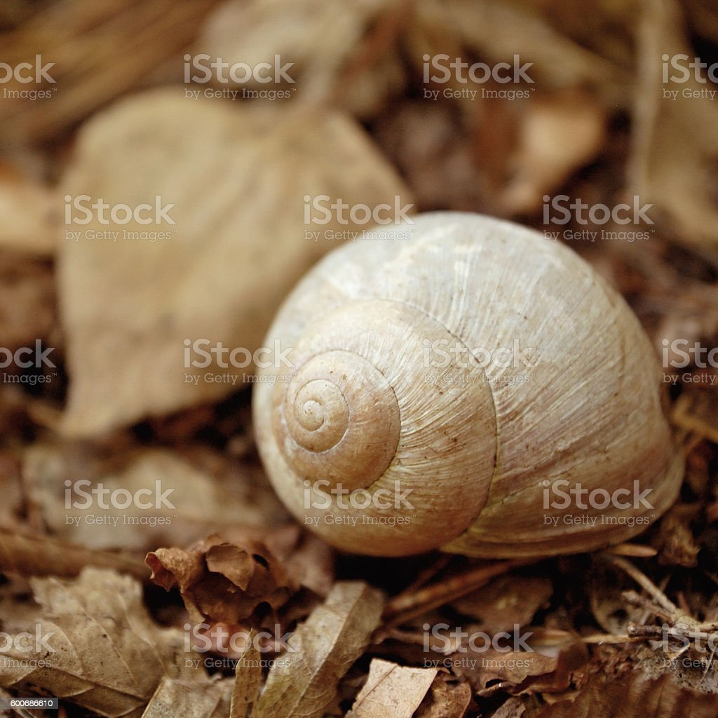 empty snail shell in woods. sepia toned. stock photo