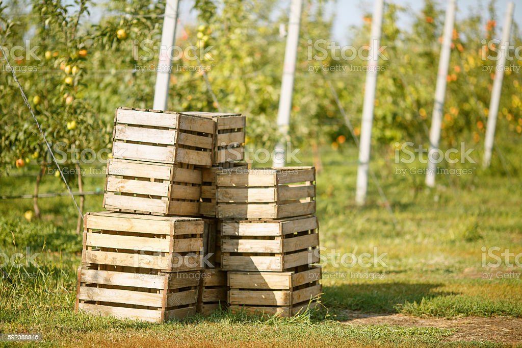 Empty wooden boxes, harvesting in an apple-tree garden royalty-free stock photo