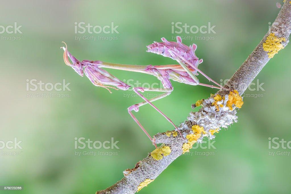 Empusa male ninpha stock photo