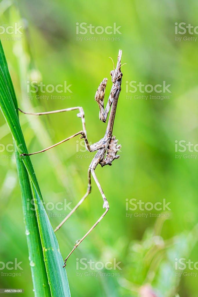 empusa pennata praying mantis, Insect on blade of grass stock photo