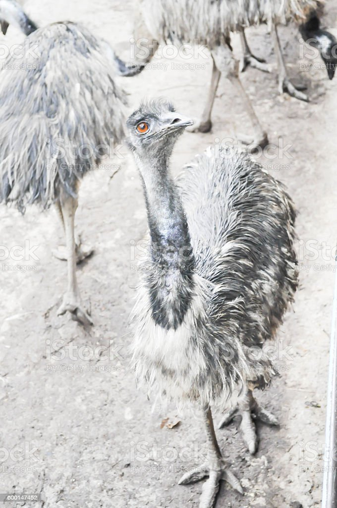 Emu animal in blue background stock photo