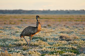 Emu at Sunset,