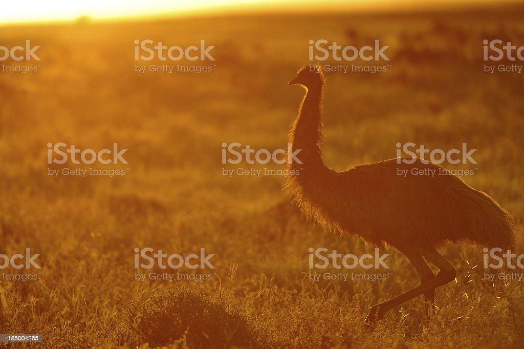 Emu at Sunset, royalty-free stock photo