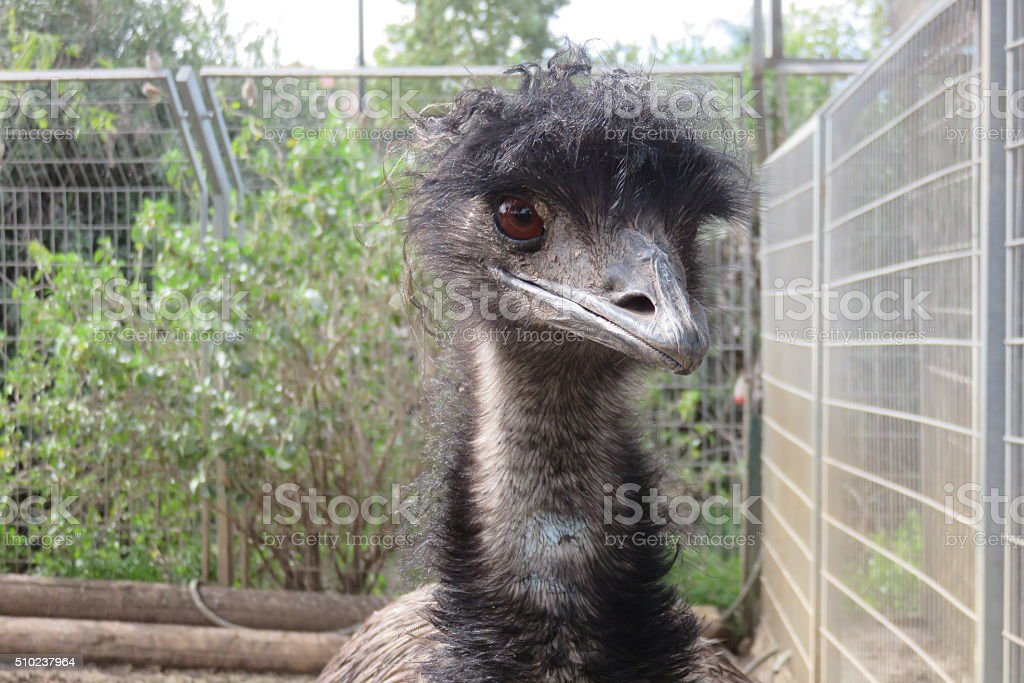 Emu close-up stock photo