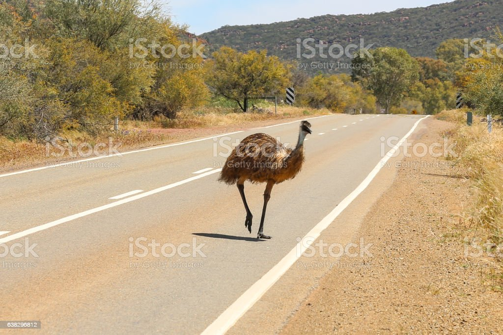 Emu crossing the road stock photo