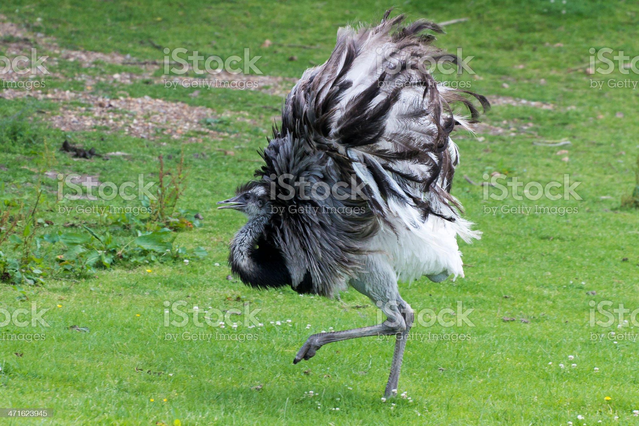Emu displaying royalty-free stock photo