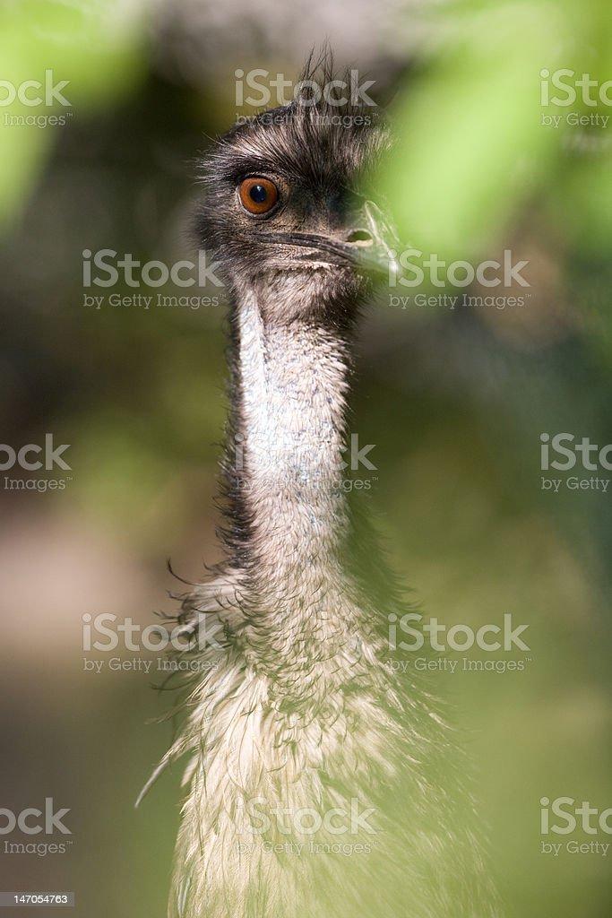 Emu - Dromaius novaehollandiae royalty-free stock photo