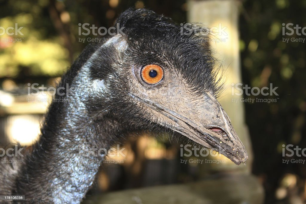 Emu Face royalty-free stock photo