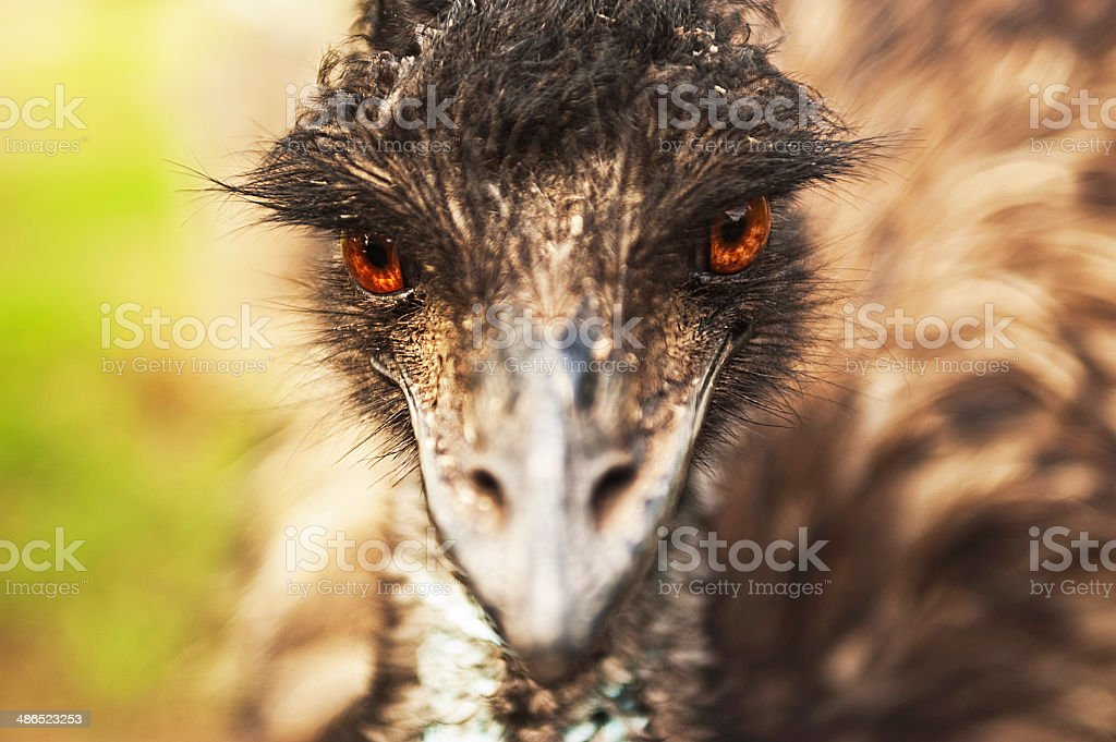 Emu front on stock photo