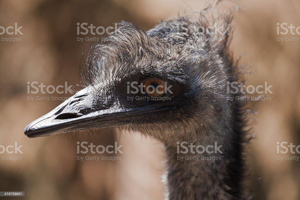Emu head stock photo