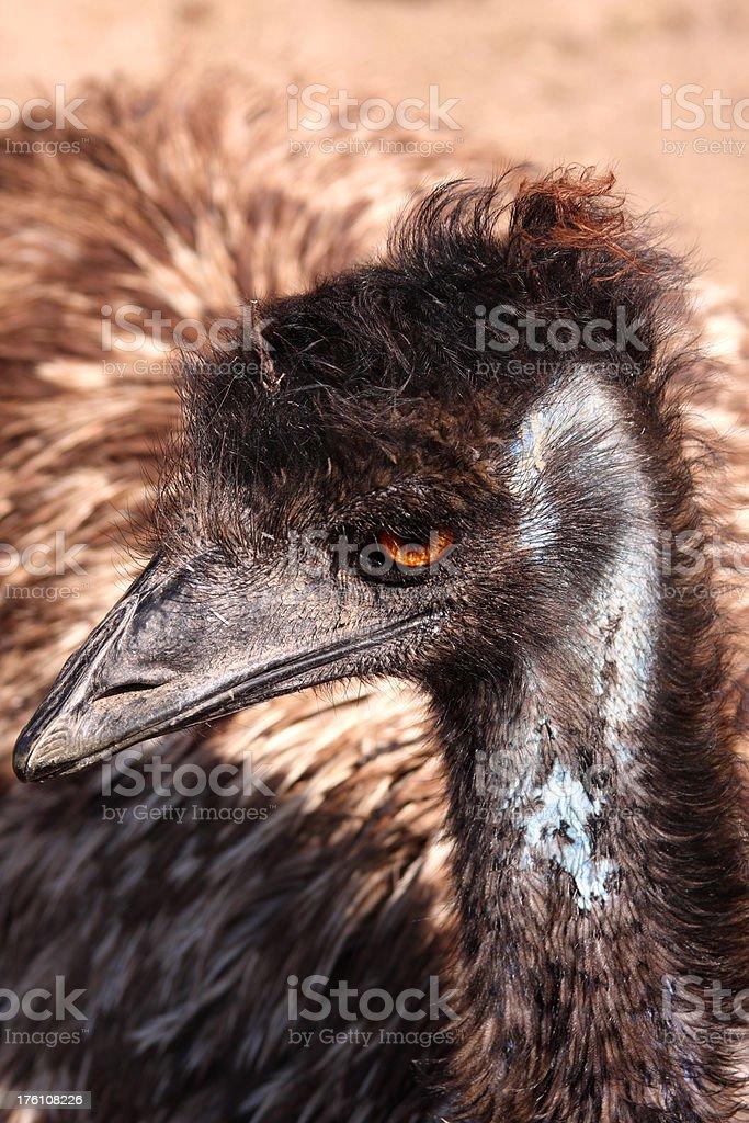 Emu Headshot royalty-free stock photo
