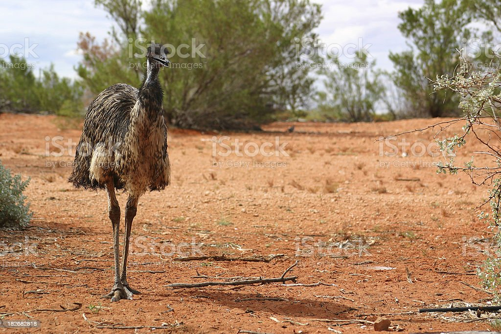 Emu in Outback royalty-free stock photo