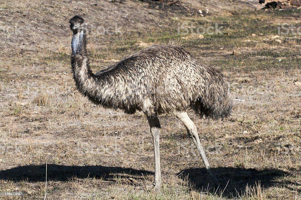Emu loohing at camera royalty-free stock photo