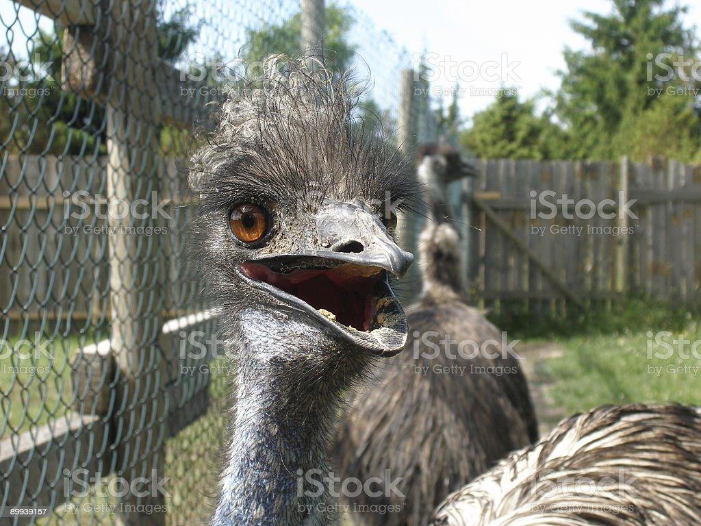 Emu looking around royalty-free stock photo