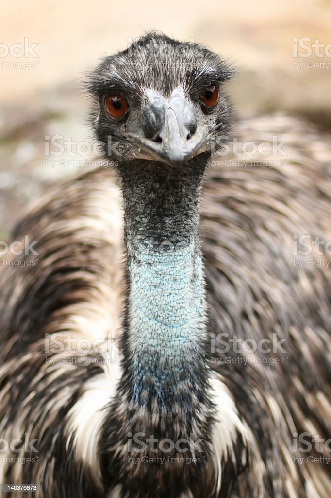 emu royalty-free stock photo