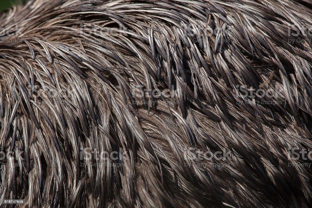 Emu (Dromaius novaehollandiae). Plumage texture. stock photo